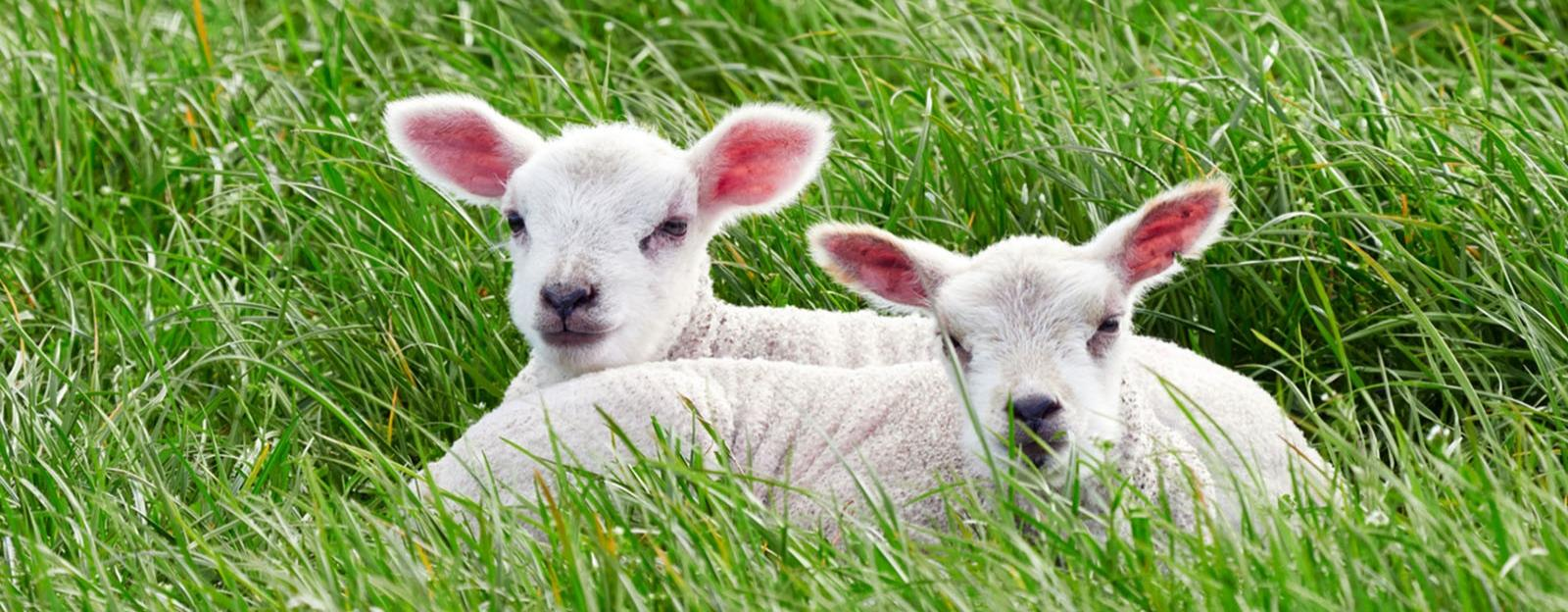 Farming insights: Lambing